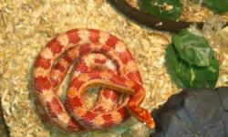 have two corn snakes, Christmas corn and candy corn, they are a pair will not be separated! Comes with a 175 gallon tank, hinding rock and egg, water bowl, both night and daytime lights, heat rock and heat pad, thermometer! They have been handle lots