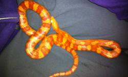 I am selling my 4 year old corn snakes. They are brother and sister and have been together all 4 years, I'm not willing to separate them. The albino is the longer snake, and the female. The male is regular color. They have amazing temperaments, never