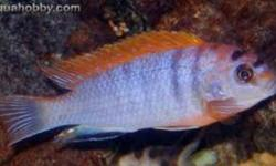Hey, I have two african cichlids for trade. If i get a good offer for them, I will sell. These are high quality cichlids from a breeder in the states. First, I have a male Red Top Hongi cichlid, a mbuna. About 3 inches, more or less. VERY good health,