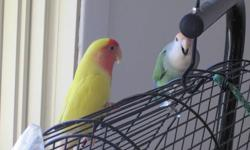 Pour adoption et garder le couple ensemble. To adopt and keep the couple together. Proven re-producers. Have made almost a dozen babies together.  They are still young and fertile. 2 Lovebirds: Mother: Yellow body with peach face Father: Green body with