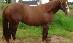 "Cowboys Major Dream ""Dreamer"" is very solid 15hh , 11yr old AQHA, with clean conformation, solid bone, huge hip, deep hocks and a pretty head. A kind easy mare to have around, excellent barn manners, happy tied, in a box stall, or running in and out."