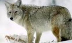 Attention Land Owners.....we need to help control the Coyote population before New Brunswick ends up as bad as the situation is in Nova Scotia where they are attacking people and family pets daily as it has started in NB. It is amazing to hear how much