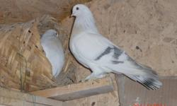 I am saling iraqi crack tumbler good pigeons this the one you looking for I can ship them .20 pigeons , 416-731-6103