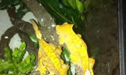 Offering baby crested Gecko for sale price $65 each. This is half the price of the pet store.. Easy to care for and make a great gift for Christmas. This ad was posted with the Kijiji Classifieds app.
