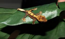 I have 4 crested gecko babies left for sale. They are $75.00 each.. Will provide a care sheet but please research before buying. They are an easy/ beginner reptile but still require daily care. Email for more information.