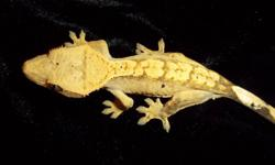 Sanctuary breeding crested geckos since 2005 I have one yellow flame-dalmatian, a 5 month old male, weight is 17g. He fires up a nice golden yellow, is thriving excellently and looking for a loving home. If interested, please call Jewel at 416-269-8611
