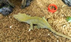 selling a good selection of crested geckos all eating crested gecko diet. no crickets needed 5 geckos total 3 males 2 females first 2 pictures are the females comes with exo terra 36 x 18 x 24 terrerium enclosures for babies once hatched incubator for