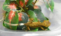 2 Crested Gecko Hatchlings available for $50 each. Eating well on Clark's Gecko diet. Located in Midland, pick up only.