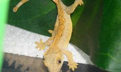 1-2 month old  unsexed crested geckos for sale.  all healthy and eating repashy crested gecko diet   $60 exo terras also available I will answer any questions about their care you may have thanks for reading :)     !!REASONABLE!! offers welcome
