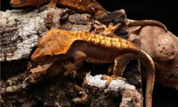 I have several male Crested geckos for sale $25.00 each. These are adult male proven breeders, which would also make great pets. I also have several adult females available for $100.00 each or best offer. Thanks for looking