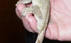 Hey I have crested geckos and a Gargoyle for sale please call for more information no emails! 519 942 1456