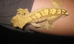 I am selling off my entire colony of Crested geckos. I have 12 in total. Mixed bloodlines, all rare crosses. 7 male, 2 female, 3 unsexed. Pictures available on request. Males are $60, females are $75. If you take all 12, I can do it for $600 ($50 each). I
