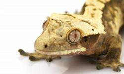 Reptile Store.ca is proud to announce our newest sale..... CRESTED GECKOS FOR $59.99! Crested Geckos are one of the easiest lizards to maintain. These guys require very minimal maitanance and are amazing to observe in a naturalistic environment.   Crested
