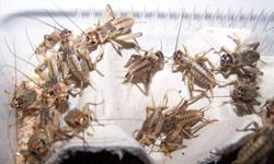Reptile Food / Fishing Bait. We are a Saskatchewan based Insect Farm, supplying High Quality Feeder Insects. We offer free delivery in Prince Albert on all orders over $25. Pick-up can be arranged. Visit us at www.supercricket.ca. ***Pricing as