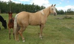 Sassy is a gorgeous dappled palomino. She has had 60 days with a trainer a couple years ago and has since been ridden by our nine year old for 4-H as well as by other family members pleasure riding. She is not much for speed and ambition, but would make a