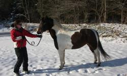 Lola is a large (14hh) Paint X New forest pony. She is super sweet and loves attention. She is trained to lunge and has had all of her tack on, I just haven't got on her yet. She would make and awsome winter projest and a great children's pony with some