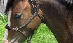 NEED TO SELL - VERY NEGOTIABLE This is a very cute mare with an exquisite head and eye that certainly turns heads!!  Raggedy Ann is full of some of the best Coed Coch breeding on the dam's side and Twyford bred on the sire's side.  She is a fabulous start