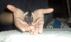 Cute Baby Rats For Sale !   I have six baby rats for sale, they are now 4 weeks old. There are 3 girls and 3 boy. I am selling them for 5$ (each) They all must go ASAP. And are for pets NOT REPTILE FOOD! Please e-mail me if you are intrested. -Justine-