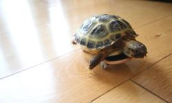 This little baby tortoise is about 9 months old. He is captive bred and completely healthy. Eating very well. His routine lettuce (field mix) and Grassland tortoise chow diet is keeping him nice and healthy. Please contact me if you are willing purchase