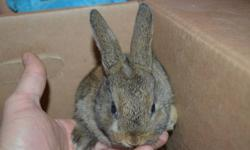 Six week old baby bunny rabbits ready to go to their new home for Christmas. Choose from a wide selection of cute and cuddly creatures for pets. Some photo?s are attached. Please contact if you would like more photo?s or have any questions.  $10 each or