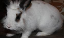 I am giving away my young bunny as I am expecting & no longer have the time to play with her.. Shes white with brown spots. Gets along great with other animals, even my hyper active dog. She comes with everything you need. Her food, beddings, cage, hay &