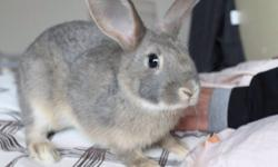 Comes with food, bedding, water bottle, the rabbit cage and some other stuff. Cute grey rabbit, I can't take her with us to our new home, so pls contact if you have any questions. This ad was posted with the Kijiji Classifieds app.