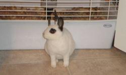 I have a 1.5 year old mini rex rabbit, I bought from petland when he was just a little baby. He has a very soft fur that is all white but he looks like he is wearing black eyeliner and he has black ears. He is the most adorable thing i have ever seen and