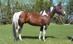 Peppys Olena Smart APHA #732,574.  Peppy is a solid, well put together bay tobiano stallion with tons of eye appeal.  He is a proven producer and is currently being used as the herd sire at Twin Arrows Ranch.  He is sound, gentle and easy to handle.  He