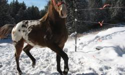 Apache is a beautiful Appaloosa Stallion that is ready to service your mare come spring.  Book now to reserve your space. Mare care is $10/day, stud fee is $300.00. Bloodline includes several well bred Appaloosa on one side and Man O'War on the other