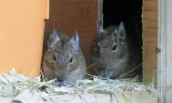 I have 1 male and 3 female baby degu's who are ready to go to a good home.  Degu's are lovable, furry little critters who are very sociable and do well in pairs.  The pictures posted are of the parents Faith and Marley and the boys and girls.  They really
