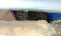 I have 2 degus for sale, with their cage. Please contact for prices.