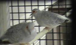 I have a pair of adult and one year old Diamond Dove ready to sell. They are perfectly healthy and very active. I bought the pair two years before from a local pet shop and they hatched the baby one. I like to sell three together with a small cage. Please