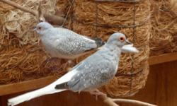 Diamond Dove is Smallest Dove in The World!! I have (2 males and 3 females) unrelated less than year old... Asking $160 for all 5 birds or $40 each US Import Bloodline... Phone: 778-858-3443
