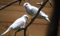 5 Diamond Doves Plus one baby... Smallest Doves in The World...size of budgie... Asking $140 for all...or $70 a pair Phone 778-858-3443