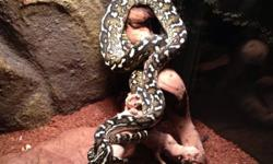Amazingly coloured snake. quite attractive. Great temperament for a carpet python. Currently eating live, but can be switched to frozen as he readily eats. Around four feet in length. Present diet - 2 adult feeder mice. 250$$ OBO. This ad was posted with