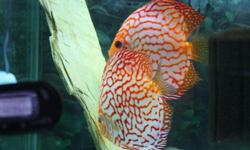 """Gorgeous discus for sale, various colours and sizes:    2"""" assorted $39.99 2.5""""$59.99 4""""$99.99   Adults available too, various sizes and amazing colours, including breeding pairs.  Absolute quality discus.   BIG SPECIAL ON ALL DISCUS BUY 5 GET 1 FREE"""