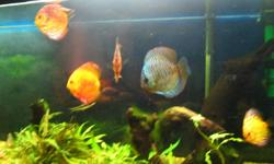 6 Discus CD size, 2 breeding pair in group. $450 for all 6. I also have a 125 gal. aquarium, T5 lights, Eheim filter, Eheim heaters, pinestand $900 including fish call 226-372-8235