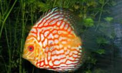 """- Two female 4"""" red pigeon blood discus - One male 5"""" red pigeon blood discus - One female 4"""" blue Snake skin discus I bought the 3 pigeon bloods and the Blue Snakeskin at Big Al's Mississauga for $599.65 after taxes. I would greatly appreciate pickup as"""