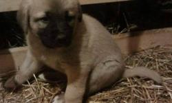 From great working lines ! I offer one male anatolian pup that is ready to go next week . Last of the litter ! Parents are CKC and AKC Reg. He's been vet checked , had dew claws removed , first shots and dewormed . Only $650 Feel free to call me about