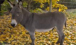 Sadly sell my donkey stud.  He is young and I have had him for my petting zoo at my store.  He is very gentle, I can trim his feet and lead him pretty good.  I have to close my store so the critters must go.  To good home only and only serious inquirers