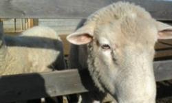 1Dorset Ram and 1 Dorset Ewe 200.00 each firm.(902)659-2354.