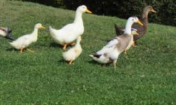 I have 3 baby ducks, and 2 adults for sale.