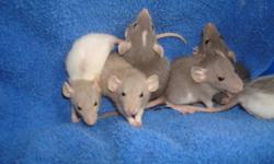 Dumbo Rat Babies These four week old little ones have been handled from day one. They are used to children and make wonderful little pets.