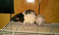 2 Adult 1 Male 1 female male and female youngsters grey and white is the female adult white is the male and babies