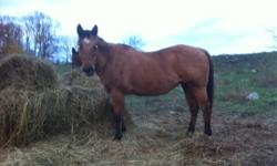 """Barbie - """"Musical Bar Maid"""" 19 year old Dun Mare, 14.2 Hands. Exposed to """"Watch Cheques Tang"""" for Summer 2012 Foal Tang's foals are smart, athletic and have proven themselves in the show ring   Easy to handle, leads, ties, trailers, easy keeper She had"""