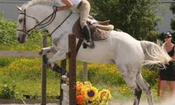 """Xmass Special---8yr Dutch Warmblood, grey-Jumper. 17 yr daughter, 5'2"""", 105lbs,  has ridden him for the past 18mos. She has moved out of town to attend school & Will needs a new home. Ridden almost daily. He loves to work. Been on a professional schooling"""