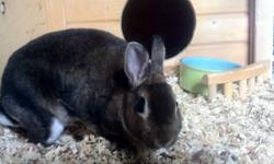 One year old female Dwarf bunny named Jamie. My daughter no longer has time for her. She is a lovely bunny with lots of personality. Leash, harness and accessories included. This ad was posted with the Kijiji Classifieds app.