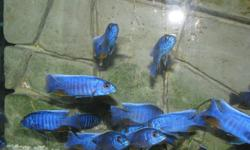 Electric Blue Cichlids for sale. Females available.   Quality fish. Beautiful and healthy.   Asking for $10 each.