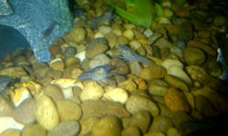 """HI, I MY ELECTRIC BLUE CRAYFISH, NAMED """"PINCHY"""", HAD BABIES! THEY ARE NOW READY TO FIND NEW HOMES! THEY LOOK LIKE MINI LOBSTERS AND ARE A BRILLIANT BLUE COLOUR. """"PINCHY"""" HAS BEEN TAKING GOOD CARE OF HER BABIES BUT THEY ARE GETTING BIG AND THE TANK IS"""