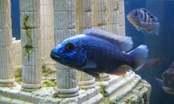 "I have for sale a 2"" baby Electric Blue Peacock male cichlid.  He is just little and already showing colour which is rare for this size as they are usually still all brown.  I bought him to watch him grow, but now I have to make some room in my tank.  I"